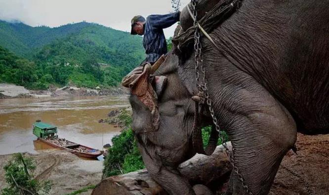 这些大象几乎每天都要在林中高负荷的来回拉运木材8、9个小时,一天