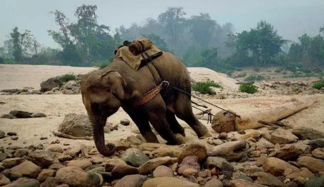 到湄公河畔,是大象拉木头的三段艰巨的过程.从山顶-大象 湄公河