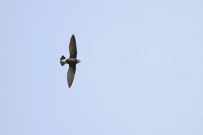 灰喉针尾雨燕曾祥乐拍摄-缅北鸟类科考散记 二高清图片