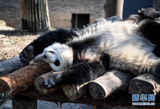 """12月20日,大熊猫""""雅星""""在中国大熊猫保护研究中心都江堰基地里慵懒地"""