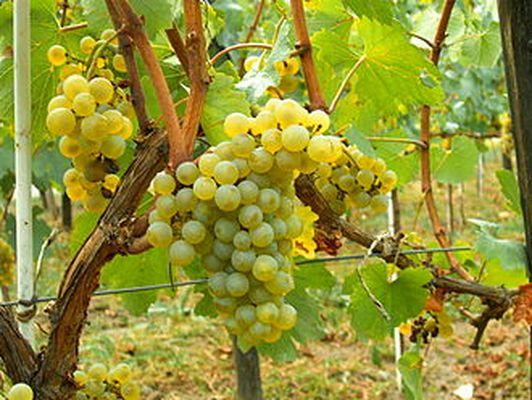 缅甸曼德勒省盛产葡萄
