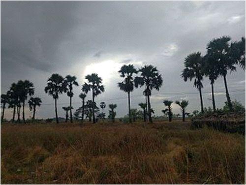 缅甸棕榈树前景