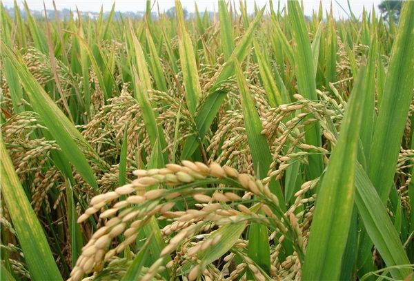 缅甸果敢到2020年将出口多达400万吨大米