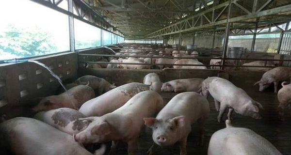 缅甸猪瘟大部分是通过非法渠道从国外传来的