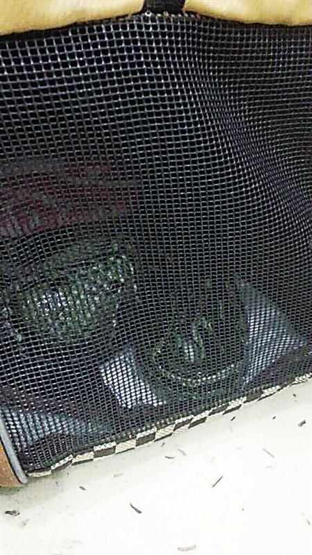 宠物包里碗口粗的大蟒蛇 沙区警方供图