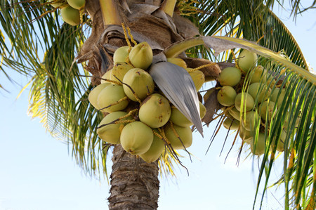 椰子施用有机肥的技术