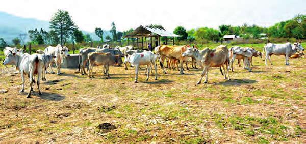 缅甸国内水牛及黄牛总数达到1150万头