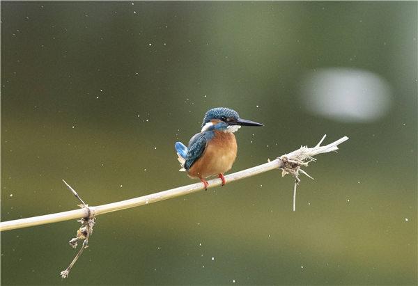 缅甸的普通翠鸟