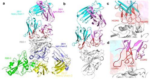 重要发现!中国研究团队发现针对德尔塔毒株有效单克隆抗体