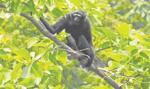 维护好珍稀生物长臂猿