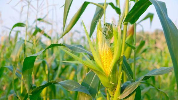 掸北皎脉专区今年共种植玉米20多万英亩